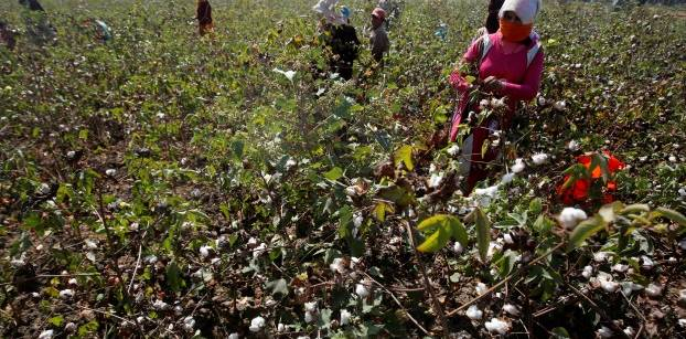 Crackdown on fake cotton helps revive Egypt crop