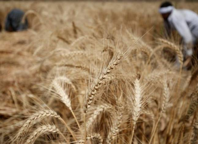 Egypt's wheat reserves to double with start of harvest -supply min