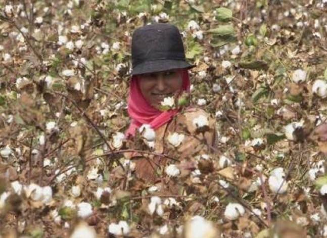 Welspun scandal follows years of plummeting Egyptian cotton output