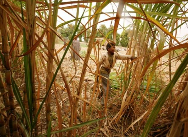 Egypt raises purchase price of sugar cane from local farmers