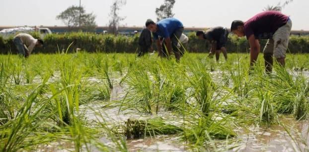 جنون الأرز..كيف فتحت الحكومة الباب للتجار والمهربين للتحكم في الأسعار؟