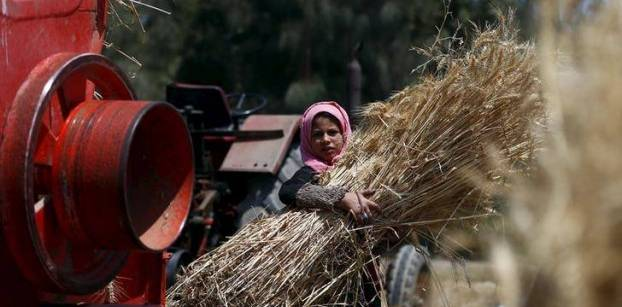 فلاحون يروون معاناتهم في تصريف القمح.. والزراعة تحتفي بالمحصول