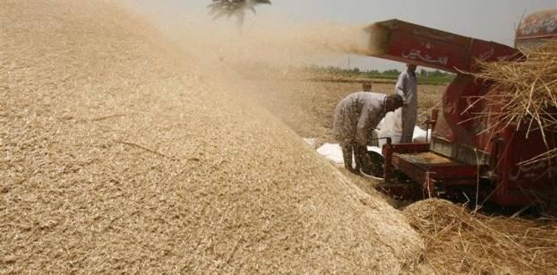 أزمة متوقعة في استيراد القمح بعد قرار عدم السماح بأي نسبة من الإرجوت