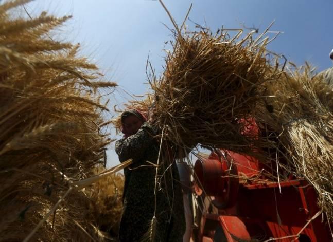 الحكومة تقلل دعمها لمزارعي القمح رغم زيادة التكاليف