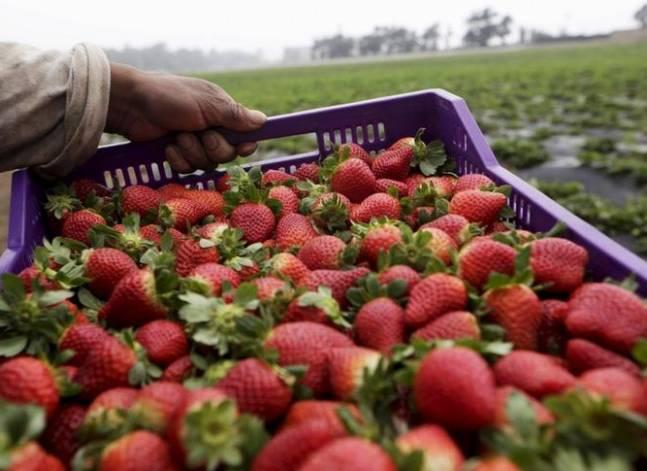 وزير: الكويت وافقت على إلغاء اشتراطات فرضتها على صادرات الفراولة المصرية