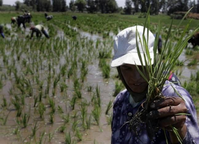 السيسي يشدد على ضرورة حظر تصدير الأرز والالتزام بالمساحات المخصصة لزراعته