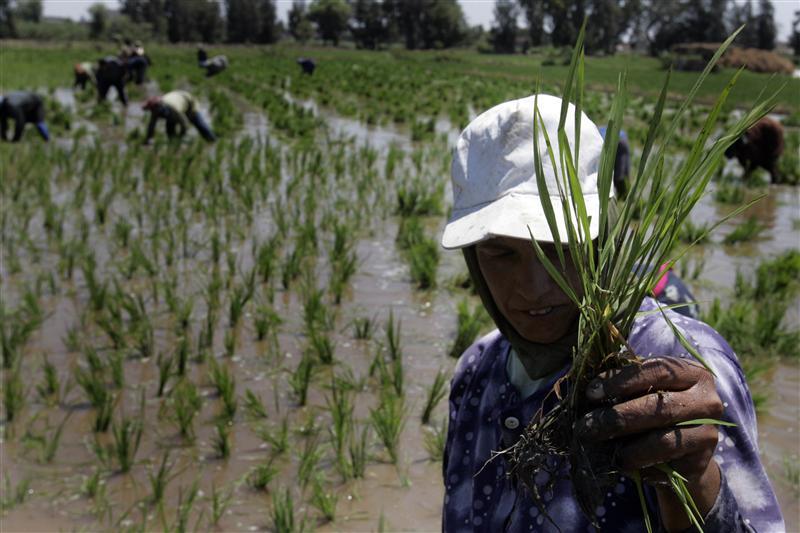 الحكومة تعيد فتح باب تصدير الأرز بعد إغلاقه 3 سنوات